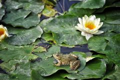 Frog on the leaves Royalty Free Stock Photo