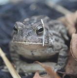 Frog in leaves. Frog hoping through the leaves Stock Photography