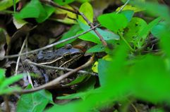 Frog with leaves. Frog among the leaves viewed on River walk at Horton Slough on forest path in Okalhoma stock photography