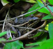 Frog with leaves. Frog among the leaves viewed on River walk at Horton Slough on forest path in Okalhoma royalty free stock image