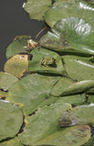 Frog on leaves of water lily on lake Royalty Free Stock Images