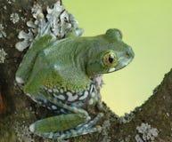 Frog Leptopelis vermiculatus Stock Image
