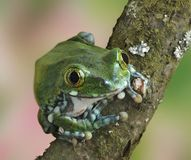 Frog Leptopelis vermiculatus Stock Photography