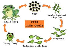Frog Life Cycle Concept. Frog life cycle isolated illustrations concept. Description of life cycle from eggs, tadpoles, tadpoles with legs, young frog to adult stock illustration