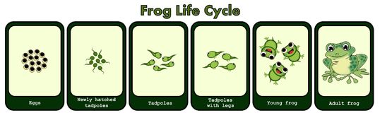 Frog Life Cycle Concept Royalty Free Stock Photography