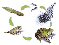Frog life cycle Stock Photo