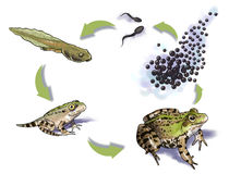Frog life cycle Royalty Free Stock Photo
