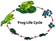 Frog life cycle digram. Illustration royalty free illustration