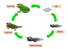 Frog life cycle. The cycle life of frog from egg to adult Royalty Free Stock Images