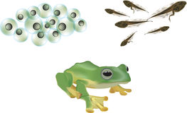 Frog lifecycle Royalty Free Stock Photo