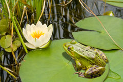 Frog and lily Royalty Free Stock Images