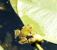 Frog and lily. Frog floating on lily leaves in Danube Delta Stock Images