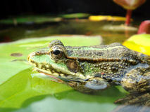 Frog on lily leaf Stock Image