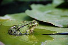 Frog on a lily leaf in pond Royalty Free Stock Photography