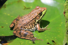 Frog on Lily Pad Royalty Free Stock Images