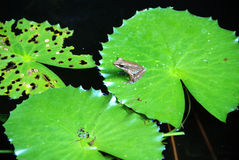 Frog on a lily pad Stock Images
