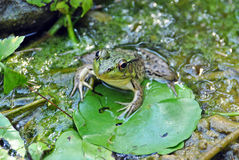 Frog on lily pad Stock Image