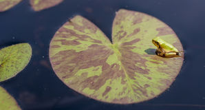 Frog on a Lily Pad Royalty Free Stock Images