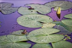Frog with white water lily. A frog on a lily pad with a lily flower bud stock photography