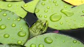Frog on lily pad. A macro background royalty free stock photography