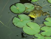 Frog on Lily Pad. Frog in pond swimming near lily pad Stock Image