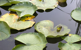 Frog on Lily Pad and Pond Water, Nature, Wildlife. Frog sitting on a lily pad. The bullfrog is in pond water and is also a part of nature and wildlife. Nice Stock Images