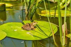 Frog on lily pad. Frog resting on a lily pad in pond water stock photos
