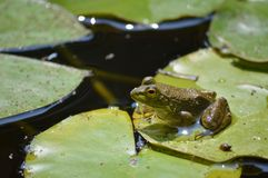 Frog on a lily pad Stock Photo