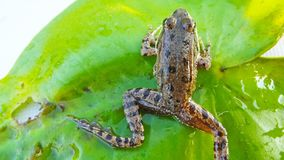 The frog on the Lily pad. royalty free stock photo