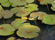 Frog and Lily Pads. A frog adventures from lily pad to lily pad in Princetown, NY Royalty Free Stock Photos