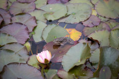 Frog on lily pads in a garden pond Stock Photo