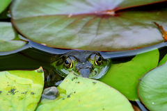 Frog in Lily Pond Stock Images