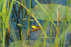 Frog on lily in a swamp Royalty Free Stock Photo