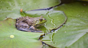 Frog on a lilypad Stock Photos