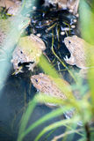Frog, Lithobates clamitans, swimming in a wetland Royalty Free Stock Photos
