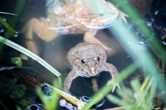 Frog, Lithobates clamitans, swimming in a wetland Royalty Free Stock Image