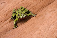 Frog on a Log. Fire Bellied Frog on a log Stock Images