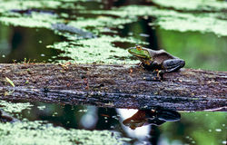 Frog on a log Royalty Free Stock Photo