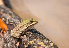 Frog and a log, Ahtuba, Russia Stock Image