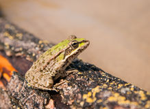 Frog and a log, Ahtuba, Russia Royalty Free Stock Images