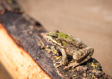 Frog and a log, Ahtuba, Russia Royalty Free Stock Image