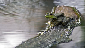 Frog on a log Stock Photography