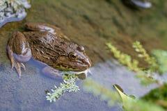 Frog. Stock Image