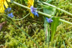 Frog looking out from under wildflowers. Hiding frog peeking out from under flower stems Royalty Free Stock Photography