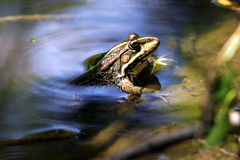 Frog looking out from water Stock Images