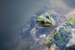 Frog looking out of the water Stock Photos