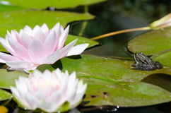 Frog on a lotus flower Stock Images