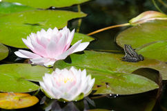 Frog on a lotus flower Royalty Free Stock Photography