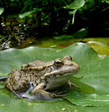 A frog on lotus leaf. A frog on a lotus leaf in a public park Royalty Free Stock Photos