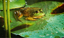 Frog on lotus leaf Stock Photos